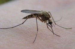 Підвальний комар-пискун