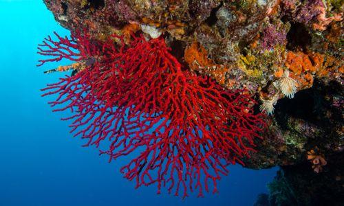 Фото - Властивості червоних коралів
