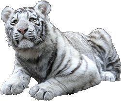 Фото - Талісман тигр в фен-шуй