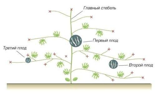 Схема формування кавуна