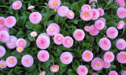 Фото - Технологія вирощування квітів маргариток
