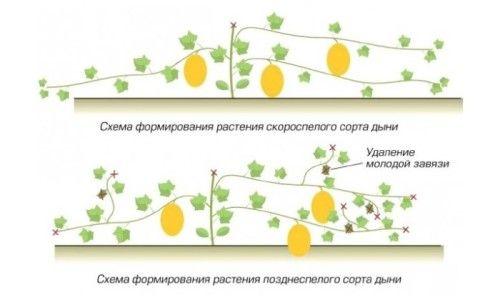 Схема формування рослин дині
