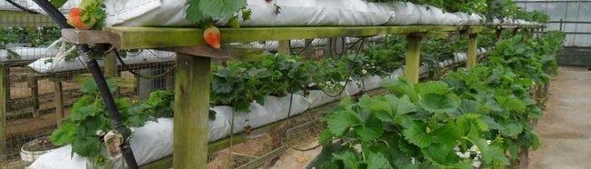 Фото - Технологія вирощування полуниці в теплиці круглий рік