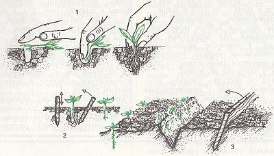 Висаджувати розсаду кукурудзи