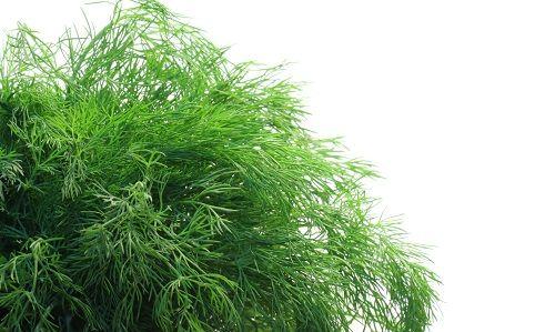 Фото - Технологія вирощування кропу на гідропоніці