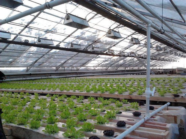 Фото - Теплиця для зелені і полуниці