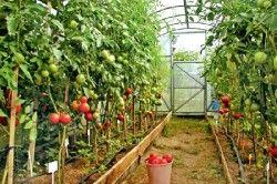 Приклад вирощування високорослих томатів