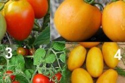 Среднеплодние сорти томатів