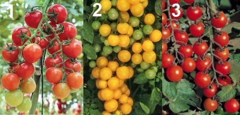 Дрібноплідні сорти томатів