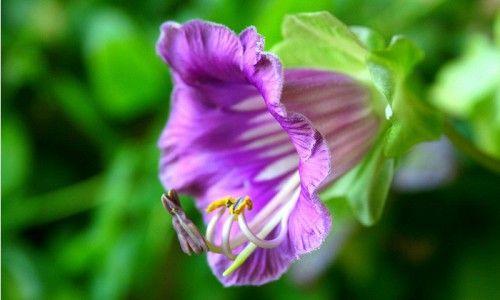 Фото - Тропічний квітка кабе: правила вирощування