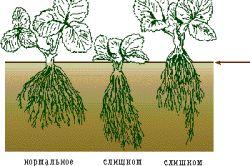 Схема глибини посадки полуниці.