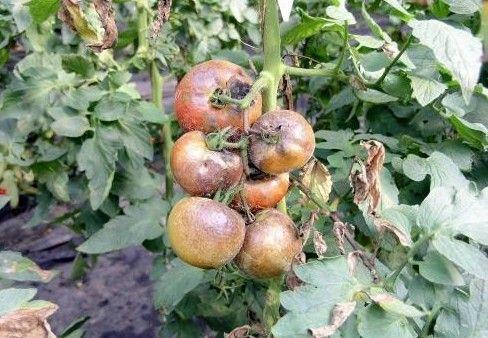 Фото - Шкідники, що викликають хвороби томатів у теплиці