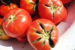 розтріскування томатів