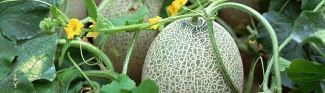 Фото - Все про динях: посів, висадка розсади і збір врожаю