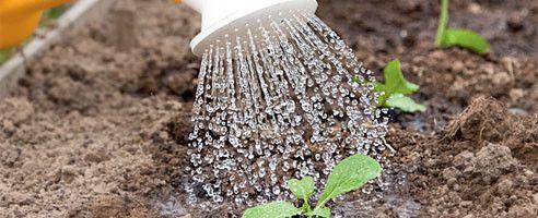 Фото - Всі тонкощі вирощування пекінської капусти