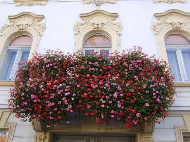 Фото - Вибір квітів для балкона