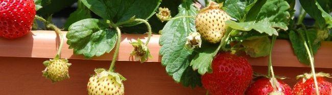 Фото - Вирощуємо полуницю