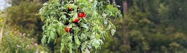 Фото - Вирощуємо помідори догори ногами