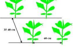 Схема посадки капусти