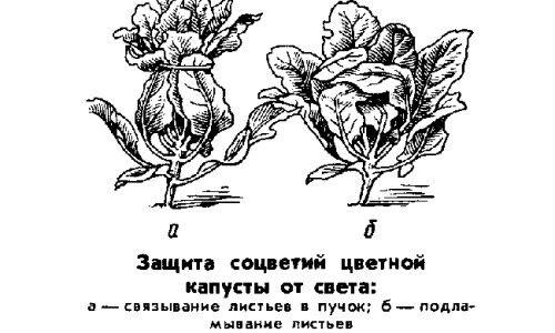 Схема захисту цвітної капусти від зайвого світла