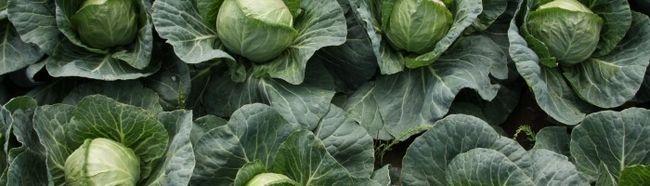 Фото - Вирощування капусти в теплиці