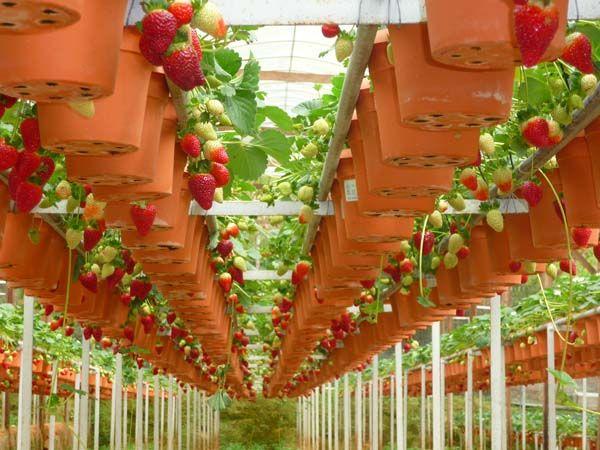 Фото - Вирощування полуниці на дому - немає нічого простіше!