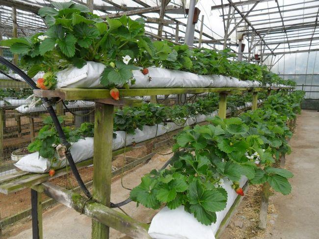 Фото - Вирощування полуниці за голландською технологією круглий рік
