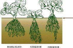 Схема глибини посадки полуниці