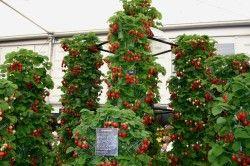 Приклад вирощування полуниці на шапалерах