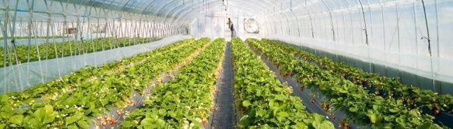 Фото - Вирощування полуниці в теплиці