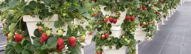 Фото - Вирощування полуниці вертикальним способом