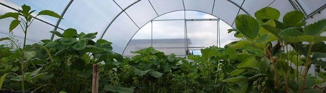 Фото - Вирощування полуниці взимку в теплиці