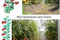 сорти полуниці