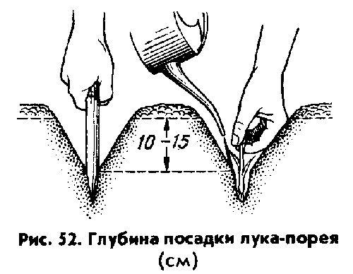 Фото - Вирощування цибулі на грядці: що потрібно знати початківцю городнику