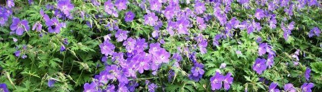 Фото - Вирощування невибагливих квітів