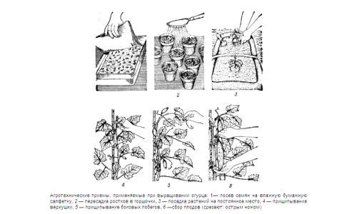 Агротехнічні методи для вирощування огірків