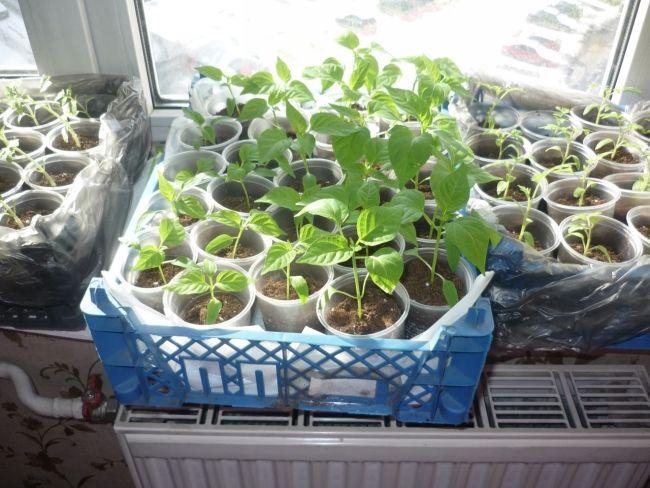 Фото - Вирощування помідорів і догляд за ними в теплиці