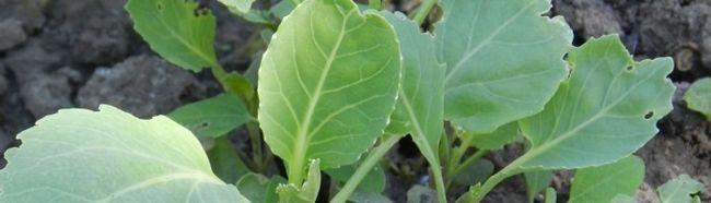Фото - Вирощування розсади капусти різних видів
