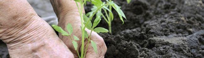 Фото - Вирощування розсади томатів і висадка в грунт