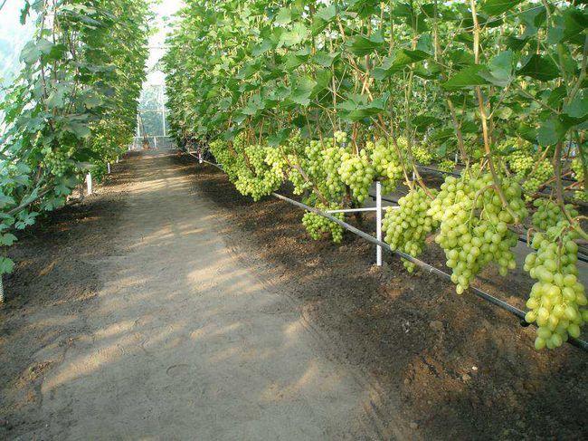 Фото - Вирощування тепличного винограду: секрети технології