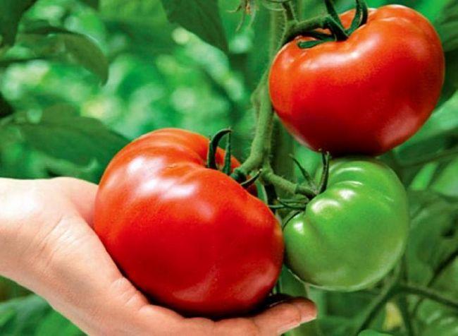 Фото - Вирощування томатів за принципами природного землеробства