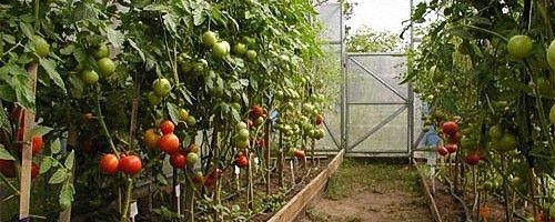 Фото - Вирощування в теплиці помідорів