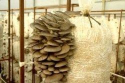 стиглі гриби
