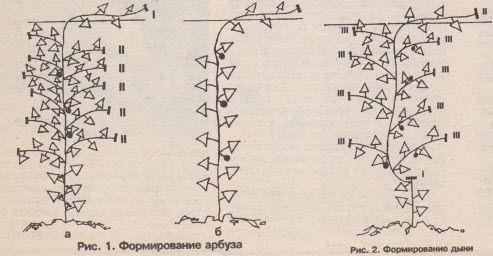 Схема формування кавуна в теплиці