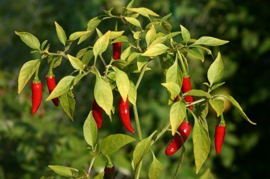 Приклад вирощування гіркого перцю