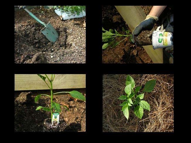 Етапи висадки перцю у відкритий грунт
