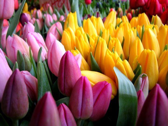 Фото - Виростити тюльпани в теплиці - справа серйозна: рекомендації і поради
