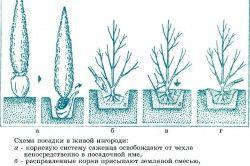 Схема посадки живоплоту
